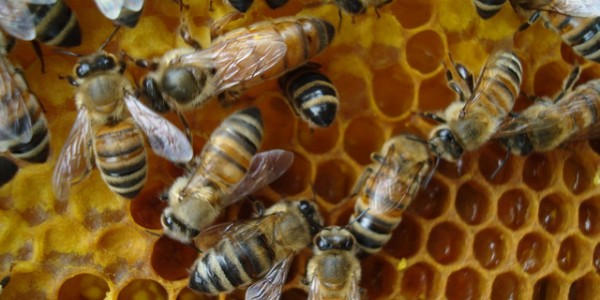 Queen bee in hive