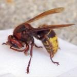 European hornet.